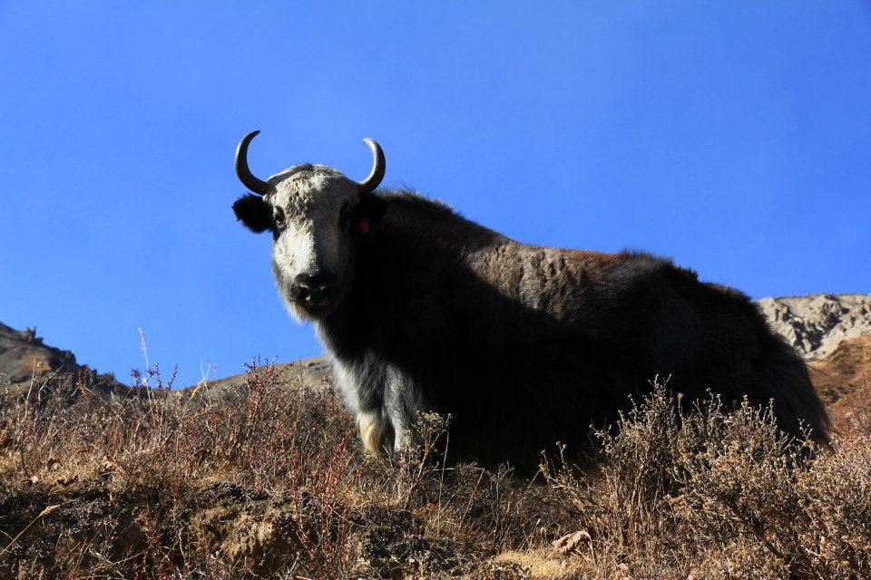 Wilder Yakbüffel
